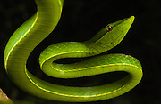 Green Vine Snake (Oxybelis fulgidus)<br />
