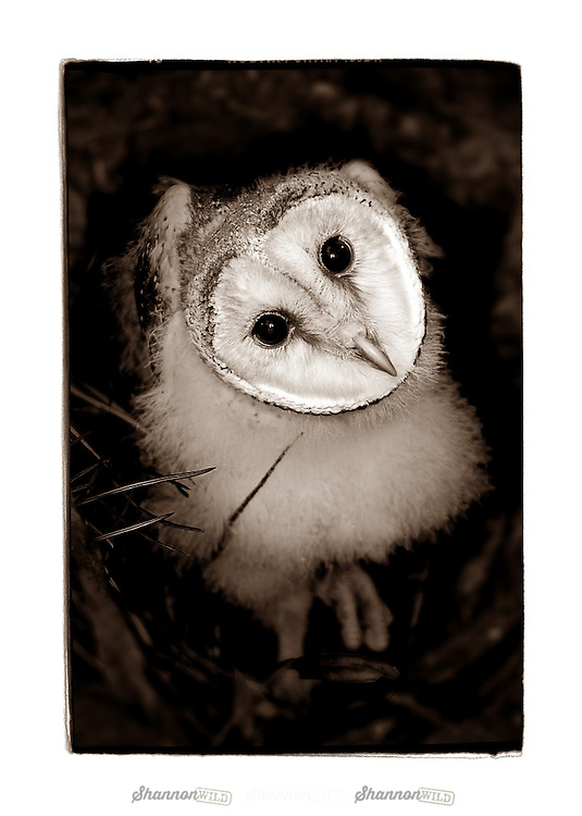 Barn Owl (Tyto alba) is the most widely distributed species of owl, and one of the most widespread of all birds.  Also known as the Common Barn Owl.