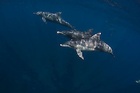 Mikura, Japan, is an island in the Izu Sea famous for wild Pacific Bottlenose dolphins. It has Japan's largest trees and a very small population.