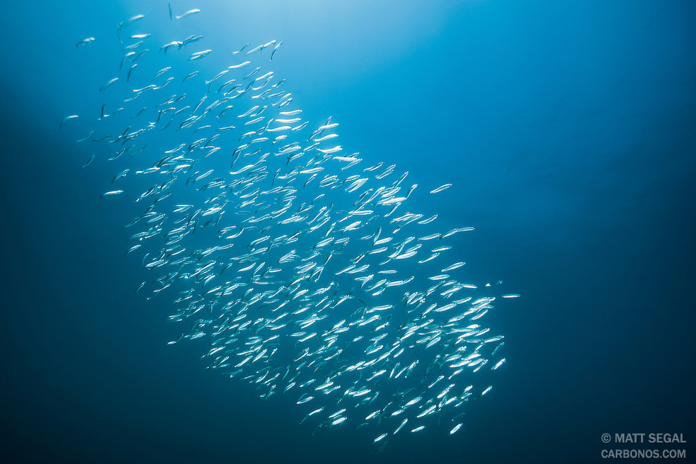Pacific sardines (Sardinops sagax) form a silver school for protection in shallow water near shore. Catalina Island, California.