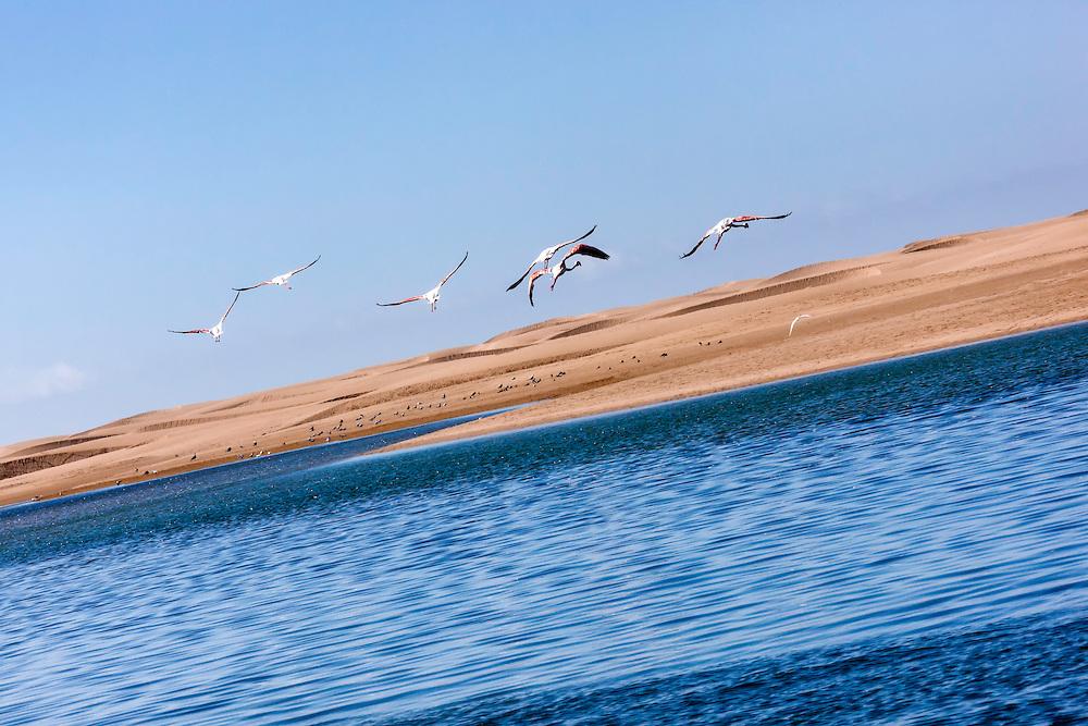 Flying flamingos (Phoenicopterus roseus) at Lagoon Khenifiss (Lac Naila), Atlantic coast, Morocco.