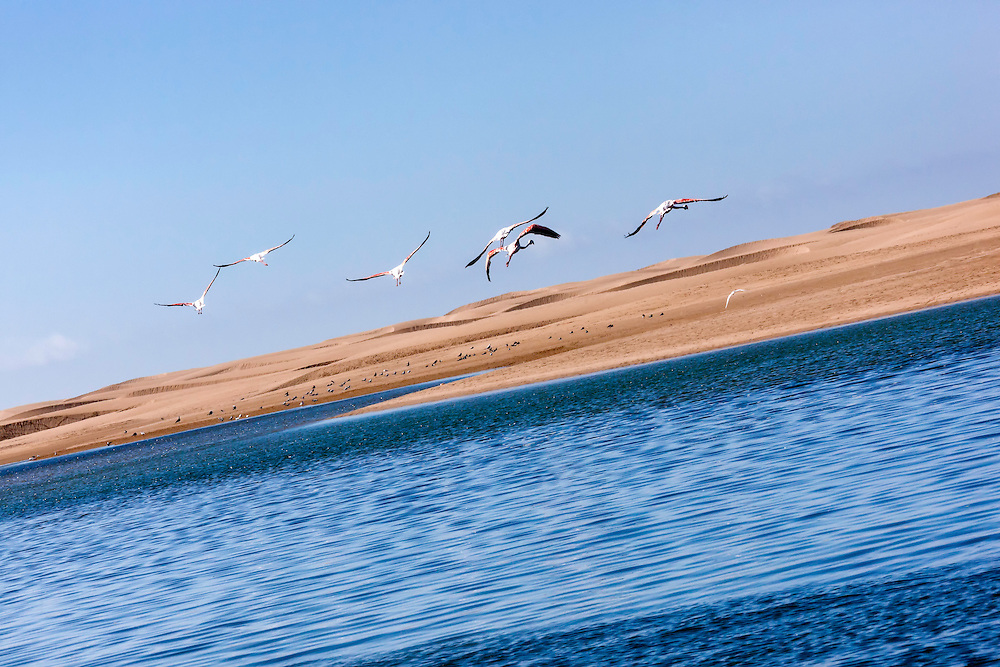 Flying flamingos (Phoenicopterus roseus) at Lagoon Khenifiss (Lac Naila), Atlantic coast, Morocco.