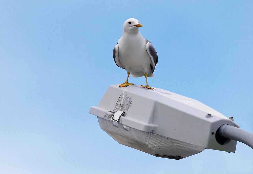 Norway - Seagull in Sør-Tverrfjord