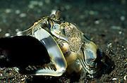 Bei Ergreifen des Fisches mit seinen dornenbewerten Fangbeinen schnellt der Fangschreckenkrebs ( Lysiosquillina maculata) ein Stück aus seiner Höhle hervor. Der Fangschlag dieser Krebse gehört zu den schnellsten Bewegungen im Tierreich. | Mantis Shrimp (Lysiosquillina maculata)