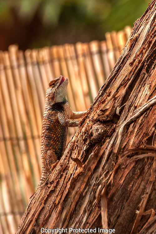 Desert Spiny lizard resting in tree in southern Utah