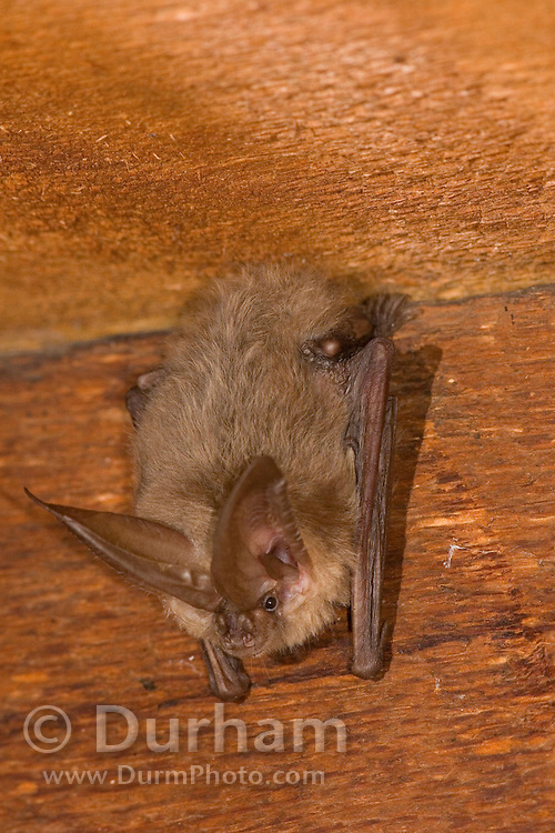 A solitary male Townsend's big-eared bat (Coryno-<br /> rhinus townsendii) roosting in an abandoned house on Bereau Of Land Managment land in Central Oregon. This sensitive species will often take up residence in old man-made structures.