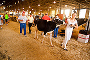 "03 SEPTEMBER 2011 - ST. PAUL, MN: A girl leads her cow back to its stall after showing it at the Minnesota State Fair.  The Minnesota State Fair is one of the largest state fairs in the United States. It's called ""the Great Minnesota Get Together"" and includes numerous agricultural exhibits, a vast midway with rides and games, horse shows and rodeos. Nearly two million people a year visit the fair, which is located in St. Paul.   PHOTO BY JACK KURTZ"