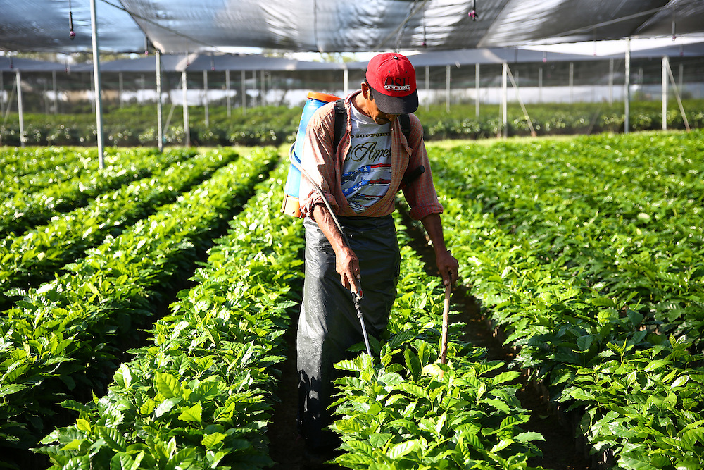 A worker tends to young trees in the Jaltenango coffee tree nursery in Chiapas, Mexico. (Joshua Trujillo, Starbucks)