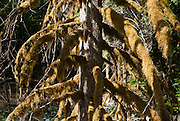 Mossy tree on Colonial Creek, Ross Lake National Recreation Area, Washington, USA.