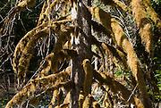 Mossy tree on Colonial Creek, Ross Lake National Recreation Area, Washington, USA.