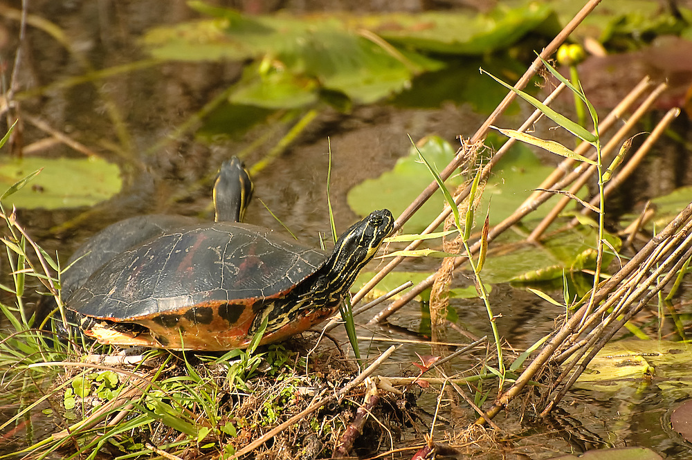 A pair of native Florida redbelly cooters bask in the sun just outside of Miami in the Florida Everglades. These small river turtles reach about 12 inches in length and are found only in Florida, except a couple places on the southern border in Georgia.