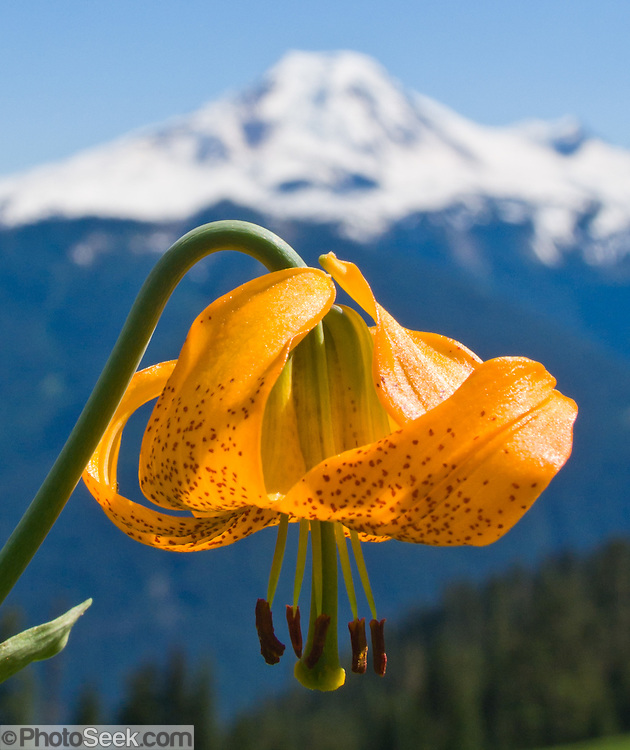"Tiger Lily on Church Mountain across from Mount Baker, in Mount Baker-Snoqualmie National Forest, north Cascade Mountains, Washington, USA. Published in ""Light Travel: Photography on the Go"" by Tom Dempsey 2009, 2010. Photographed with a compact Canon PowerShot Pro1 camera using ISO 50, lens 15.4mm (61mm equivalent in terms of 35mm film), aperture f/6.3, and shutter speed 1/400th second. The photograph was cropped from the original eight.megapixels down to three megapixels shown here to better fill the frame."