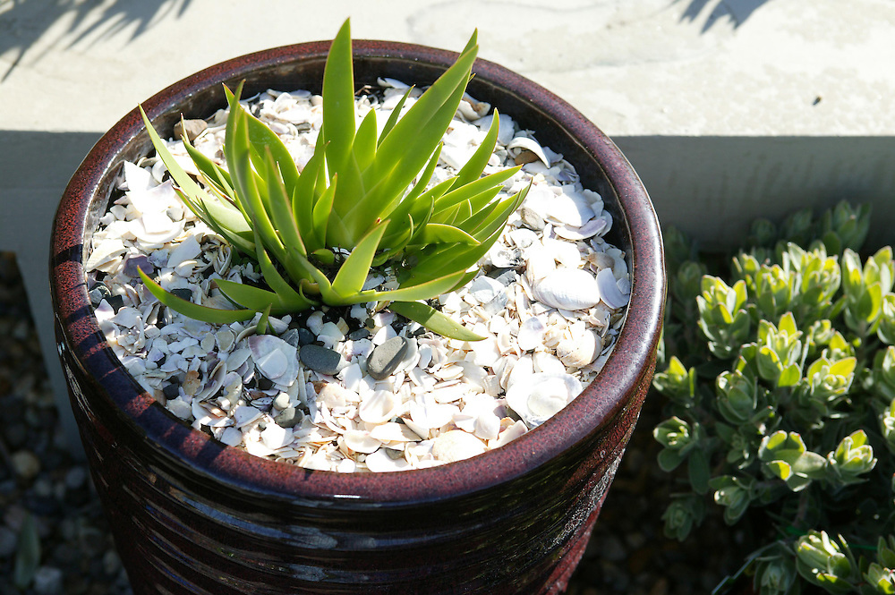 A succulent in a pot plant surrounderd by sea shells on sale at a garden centre, New Plymouth, New Zealand, May 27, 2006.  Credit:SNPA / Rob Tucker