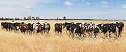 cows in field of long golden dry grass near Mitiamo, Victoria, Australia <br />