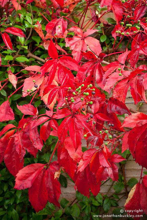 Parthenocissus quinquefolia Red Wall = 'Troki' in autumn colour. Virginia creeper.