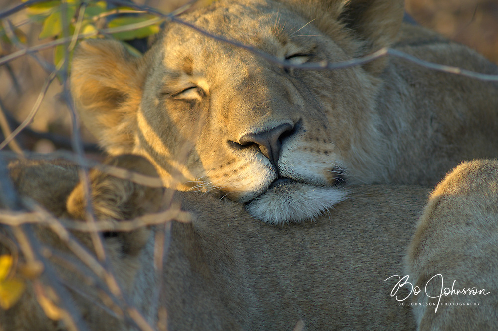 Sleepy young lionesses (Panthera leo) in the early morning light.<br />