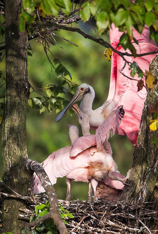 Roseate spoonbill chicks in nest at bird rookery on Jefferson Island, Louisiana.