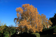 Autumn colours silver birch tree, Betula pendula, in countryside, Sutton, Suffolk, England, UK