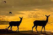 UNITED KINGDOM, Richmond Park: 14 May 2019 <br /> Red deer make their way through Richmond Park this morning as the sun rises on another fine day of weather across The UK. Temperatures are set to reach 19C in the capital and potentially higher in the Midlands.