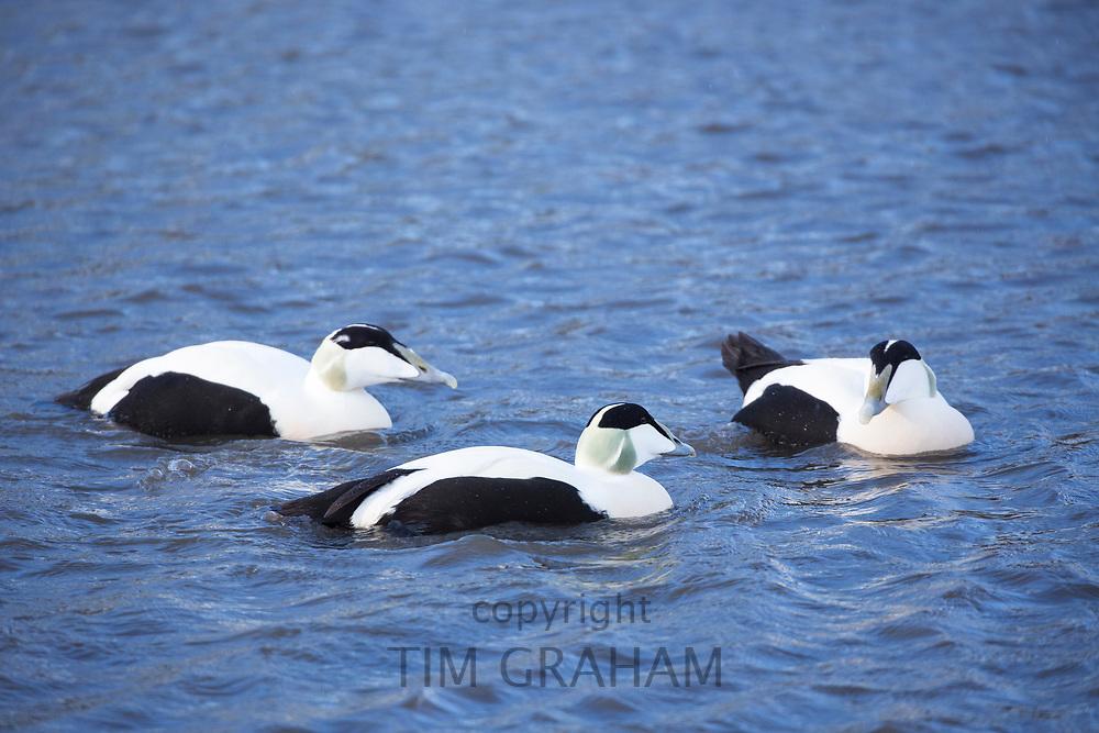 Male Eider ducks - Somateria mollissima - on lake at Slimbridge Wildfowl and Wetlands Centre, England, UK