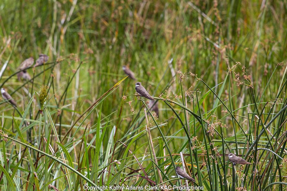 Sand martin, bank swallow, Riparia riparia, Ngorongoro creater, Ngorongoro Conservation Area, Tanzania, Africa.