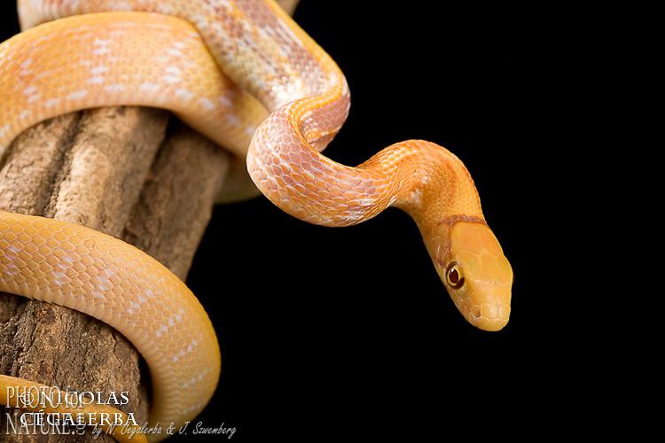 Elaphe radiata albinos