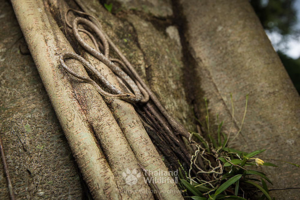 Brown Whip Snake (Dryophiops rubescens) in Kaeng Krachan national park, Thailand