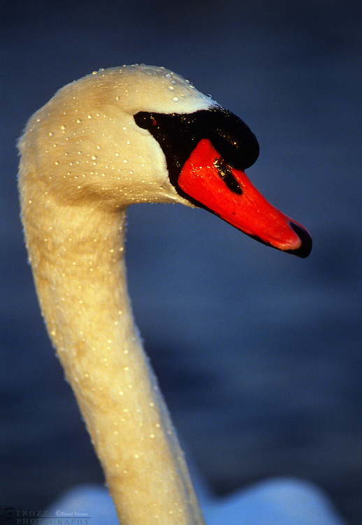 Mute swans Cygnus olor, are the most common swans in the wild, in parks or on country estates in their native range. InNorth America they are a widespread species and permanent residents in many areas.