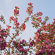 A crab apple tree in full spring bloom at sunset in Colorado.