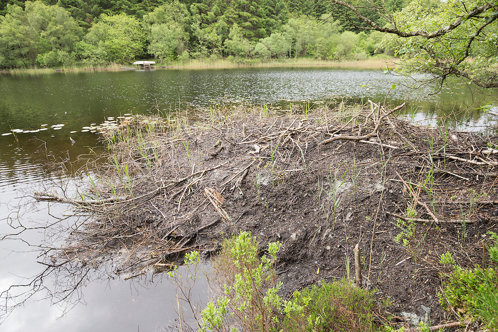 Beaver lodge, Knapdale Forest, Argyll - site of Scottish Beaver Trial.
