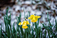Twin daffodils after a quick snowfall. Winter nature in New Jersey. Image taken with a Nikon Df camera and 70-200 mm f/2.8 lens (ISO 400, 200 mm, f/2.8, 1/125 sec).