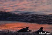 Australian flatback sea turtle hatchlings, Natator depressus, crawl down nesting beach to ocean at sunset, Torres Strait, Queensland, Australia