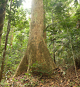 An old buttress tree and hundreds of tropical plants comprise the ancient rainforest in Endau-Rompin National Park, Malaysia. Untouched by the ice ages, these forests are the oldest known on earth.