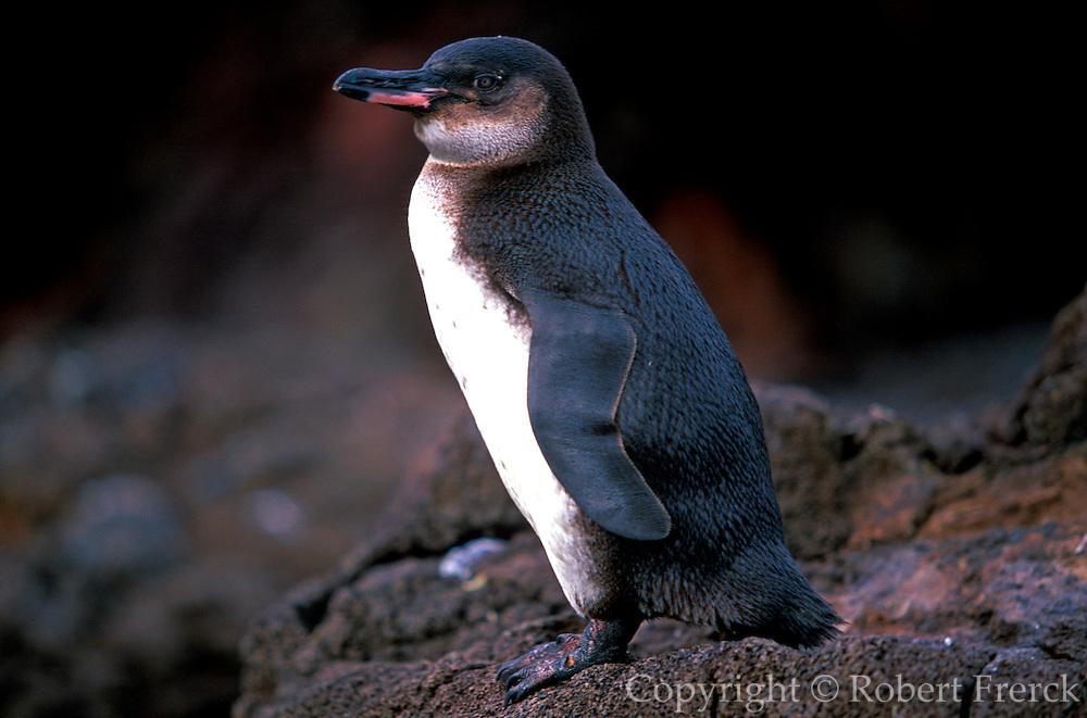ECUADOR, GALAPAGOS Galapagos Penguin, Bartolome Island