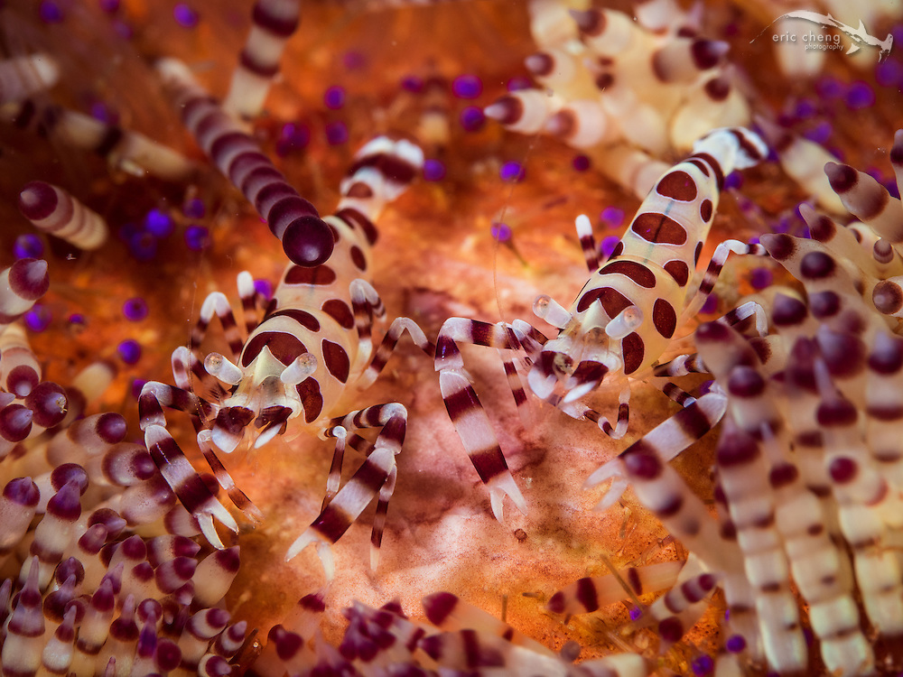A pair of Coleman shrimp (Periclimenes colemani) on their host fire urchin (Asthenosoma varium). Cannibal Rock, Horseshoe Bay, Komodo National Park, Indonesia.