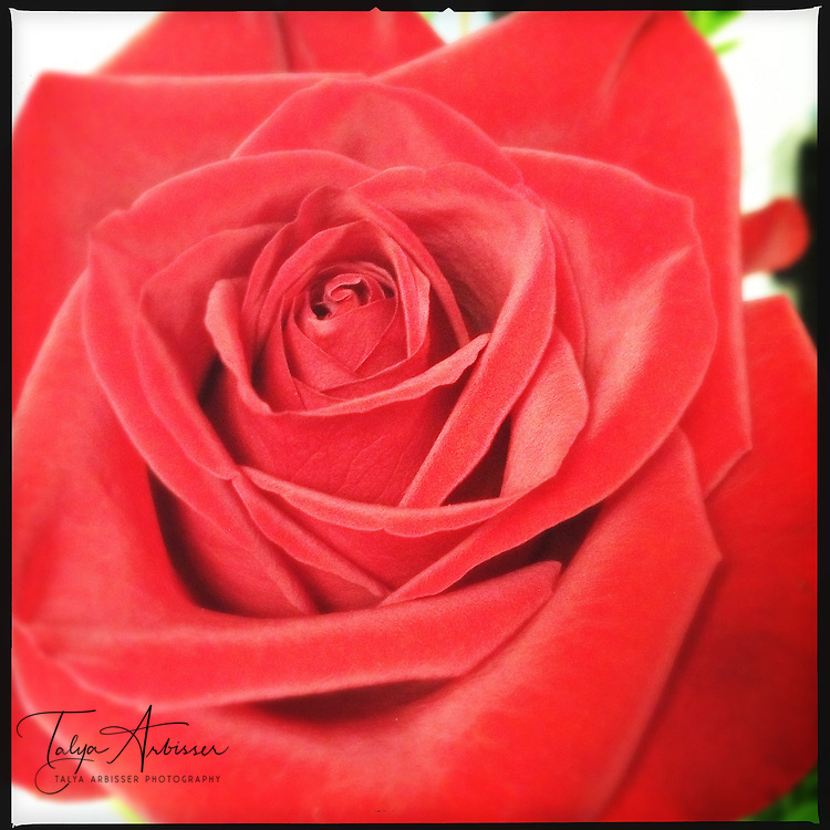 Red rose - Humble, Texas