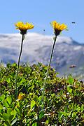 Bristly hawkbit (Leontodon hispidus), Rough hawkbit. High Tauern National Park (Nationalpark Hohe Tauern), Central Eastern Alps, Austria | Steifhaarige Löwenzahn (Leontodon hispidus), Gewöhnliches Raues Milchkraut. Nationalpark Hohe Tauern, Osttirol in Österreich