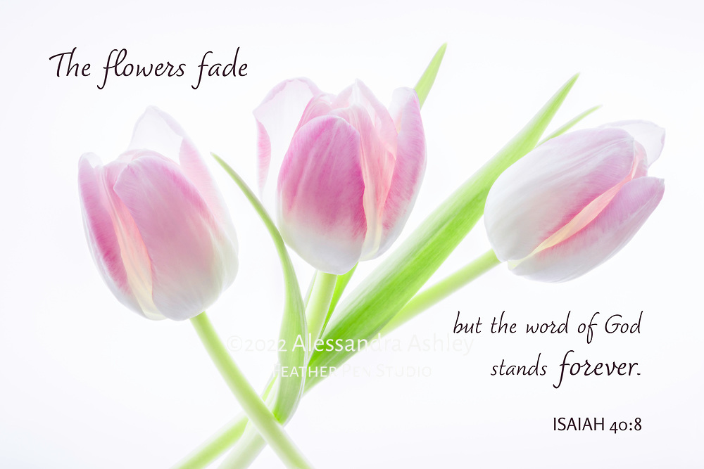 A trio of vibrant pink and white tulips on luminescent background.