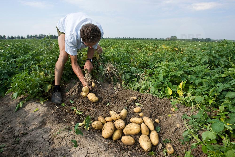 Nederland Rhoon 20 augustus 2009 20090820 Foto: David Rozing    ..Serie over levensmiddelensector                                                                                      .Een boer toont aardappelen op akker, zojuist met de hand geoogst.A farmer shows potatoes..Foto: David Rozing