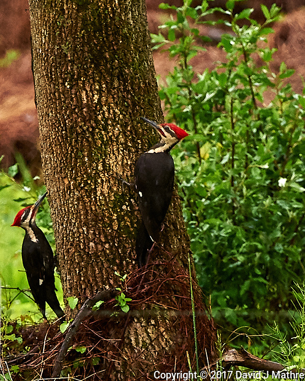 Pair of Pileated Woodpeckers. Backyard spring nature in New Jersey. Image taken with a Nikon D4 camera and 500 mm f/4 VR lens (ISO 1250, 500 mm, f/5.6, 1/640 sec).