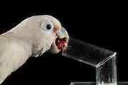 [captive] Goffin's cockatoo (Cacatua goffiniana). In this experiment, the cockatoo learns to use a tool. It needs to use a small ball to remove a treat (peanut) from a box. Goffin's cockatoos or Tanimbar Corellas are endemic to the Tanimbar archipelago in Indonesia. Research on their cognitive abilities is done in the Goffin Lab (Lower Austria) by Dr. Alice M. I. Auersperg. Sequence 5/8. | Goffinkakadu (Cacatua goffiniana). In diesem Versuch muss der Goffinkakadu erlernen, mit einer Kugel eine Belohnung (Erdnuss) heraus zu kegeln, um sie zum Rausfallen aus einer ansonsten unzugänglichen Box zu bringen. Der Kakadu lernt hierbei den Werkzeuggebrauch. Der Goffinkakadu ist eine Papageienart und kommt in freier Wildbahn ausschließlich auf der indonesischen Inselgruppe Tanimbar vor. Forschung zu kognitiven Fähigkeiten des Goffinkakadus wird im Goffin Lab (Niederösterreich) von Dr. Alice M. I. Auersperg durchgeführt. Sequenz 5/8.
