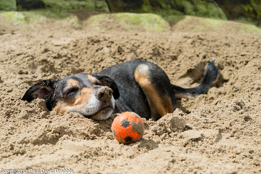 A mixed breed dog lying on the beach at Scarborough in Yorkshire with his small orange toy ball<br />  11 July 2016<br />  Copyright Paul David Drabble<br />  www.pauldaviddrabble.photoshelter.comom