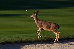 Feb 8, 2012; Pebble Beach CA, USA; A deer leaves a sand trap and crosses the first fairway during the practice round of the AT&T Pebble Beach Pro-Am at Pebble Beach Golf Links. Mandatory Credit: Jason O. Watson-US PRESSWIRE