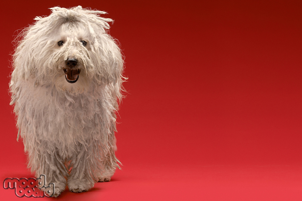 Cute Komondor dog on red background