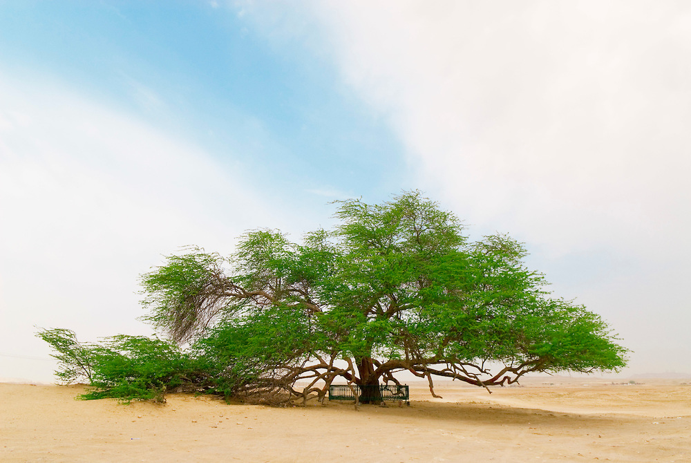 Bahrain, the tree of life in the middle of the desert, der Baum des Lebens in der Wüste Bahrains