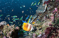 Butterflyfish and Wrasses feed on a patch of Damsel eggs<br /> <br /> Shot in Indonesia