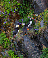 A collection of horned puffins gather together on a rocky cliff on Kodiak Island, Alaska