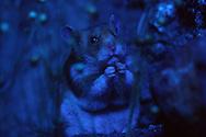 Deutschland, DEU, Cuxhaven: Goldhamster (Mesocricetus auratus) sitzt nachts Feld und frisst Samen. Goldhamster sind Nachttiere. | Germany, DEU, Cuxhaven: Golden Hamster (Mesocricetus auratus) sitting at night in a field, feeding on seeds, Golden Hamsters are nocturnal animals. |