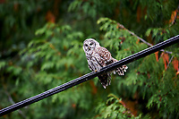 Barred Owl (Strix varia),   sitting on power wire Gabriola , British Columbia, Canada
