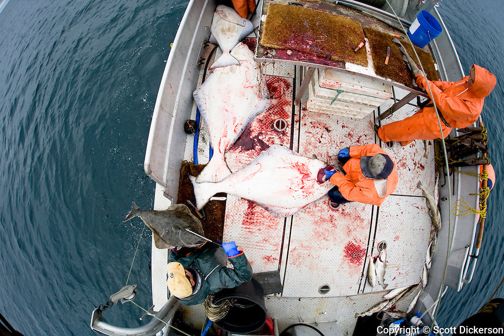 The crew of the F/V Lucky Dove busy at work while commercial longline fishing for pacific halibut in the Aleutian Islands, Alaska.